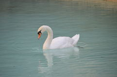 Biały Łabędzi szybownictwo Na jeziorze Zdjęcia Stock