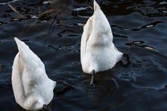 Biały łabędzi znaleziska jedzenie w wodzie. Obraz Royalty Free