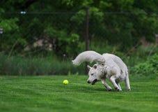 Biały łuskowaty bawić się z tenisową piłką Fotografia Royalty Free