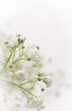 Biały łyszczec kwiat Obraz Stock