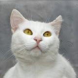 Biały śliczny kot Fotografia Stock