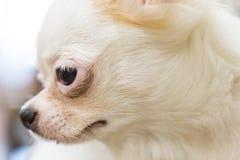 Biały śliczny szczeniaka portret Zdjęcia Royalty Free