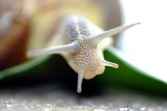 Biały ślimaczek Zdjęcia Royalty Free