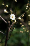 Biały śliwkowy kwiat Fotografia Stock