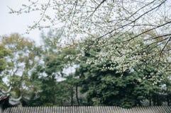 Biały śliwkowy okwitnięcia drzewo w wiośnie fotografia stock