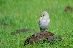 Biały Śnieżny Finch zdjęcia royalty free