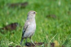 Biały Śnieżny Finch zdjęcie royalty free