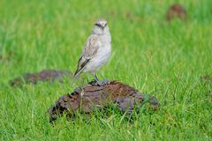 Biały Śnieżny Finch zdjęcia stock
