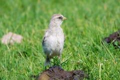 Biały Śnieżny Finch fotografia stock