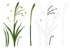 Biały śnieżyczka kwiatu kontur pojedynczy białe tło również zwrócić corel ilustracji wektora Obrazy Royalty Free