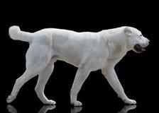 Biały Środkowy Azjatycki pasterski pies iść odosobnionym na czarnym tle Fotografia Royalty Free