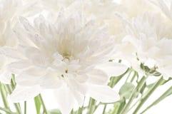 Biały świeży piękny chryzantema abstrakta tło Obrazy Royalty Free