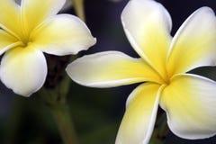 biały żółty kwiat fotografia royalty free