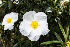 biały żółty kwiat Zdjęcie Stock