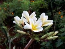 biały żółty kwiat Fotografia Stock