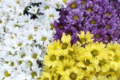 Biały żółty purpurowy chryzantema kwiatu abstrakta tło Zdjęcie Royalty Free