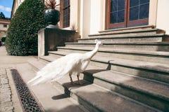Biały żeński pawi ptasi odprowadzenie w parku zdjęcia royalty free