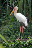 Biały żuraw Zdjęcia Royalty Free
