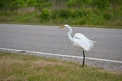 Biały żuraw Zdjęcie Stock