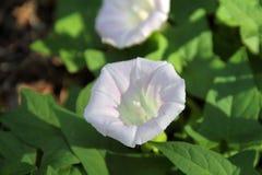 Biały żywopłotu Bindweed - Calystegia sepium Obraz Stock