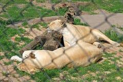 Biały afrykański żeński lew Fotografia Royalty Free