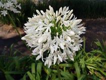 biały Afrykańskiej lelui kwiat, agapanthus africanus Obrazy Royalty Free