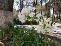 biały Afrykańskiej lelui kwiat, agapanthus africanus Obrazy Stock