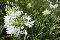 Biały agapanthus kwiat nad zielonym tłem w Azores Port Fotografia Royalty Free