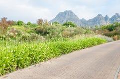 Biały agapanthus kwitnie i kilka fynbos gatunki wykładają drogę Obraz Stock