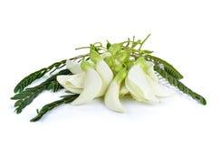 Biały Agasta Tajlandzki warzywo na białym tle Zdjęcie Royalty Free