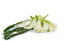 Biały Agasta, Tajlandzki warzywo na białym tle Obraz Stock