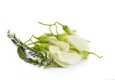 Biały Agasta, Tajlandzki warzywo na białym tle Obraz Royalty Free
