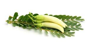Biały agasta z liściem, Tajlandzki warzywo na bielu Zdjęcie Royalty Free