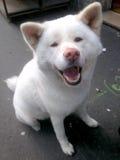 Biały Akita Inu ono Uśmiecha się Zdjęcia Royalty Free