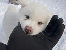 Biały Akita Inu pies Zdjęcie Royalty Free