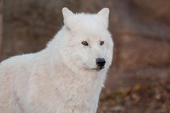 Biały alaski tundrowy wilk zamknięty w górę Canis lupus arctos Biegunowy wilk lub biały wilk obraz stock