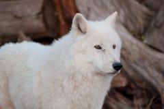 Biały alaski tundrowy wilk zamknięty w górę Canis lupus arctos Biegunowy wilk lub biały wilk zdjęcie royalty free