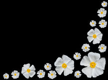 biały Alba czarny odosobnione różane róże Zdjęcie Royalty Free
