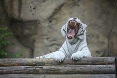 Biały albinosa tygrys fotografia stock