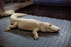 Biały aligator Zdjęcia Royalty Free