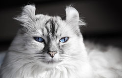 Biały amerykanina kędzioru kot z niebieskimi oczami Obrazy Stock