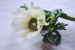 Biały anemon kwitnie na nieociosanym drewnianym tle, makro- Miękki wizerunek Zdjęcia Royalty Free