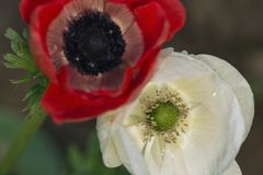 Biały anemon z stamen w ostrości z czerwonym anemonem obraz stock