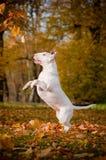 Biały anglika Bull terrier pies skacze do chwytów spada liści obraz stock