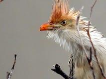 Biały anu między suchymi gałąź w Brazylia Fotografia Royalty Free