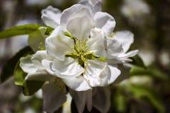 Biały Apple kwitnie na tle zieleni liście obraz stock