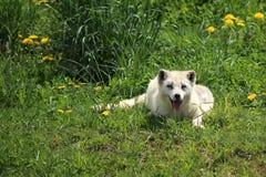 Biały arktyczny lis Zdjęcia Royalty Free