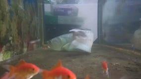 Biały arowana rybi chwytać mała ornamentacyjna ryba zbiory wideo