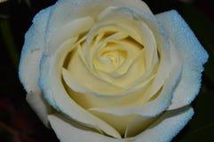 Biały - błękit róża Zdjęcia Stock