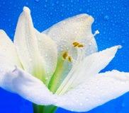 biały błękitny amarylek krople zdjęcie stock
